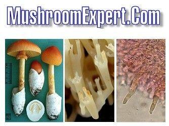 Mushroom identification guide MushroomExpert.com photo