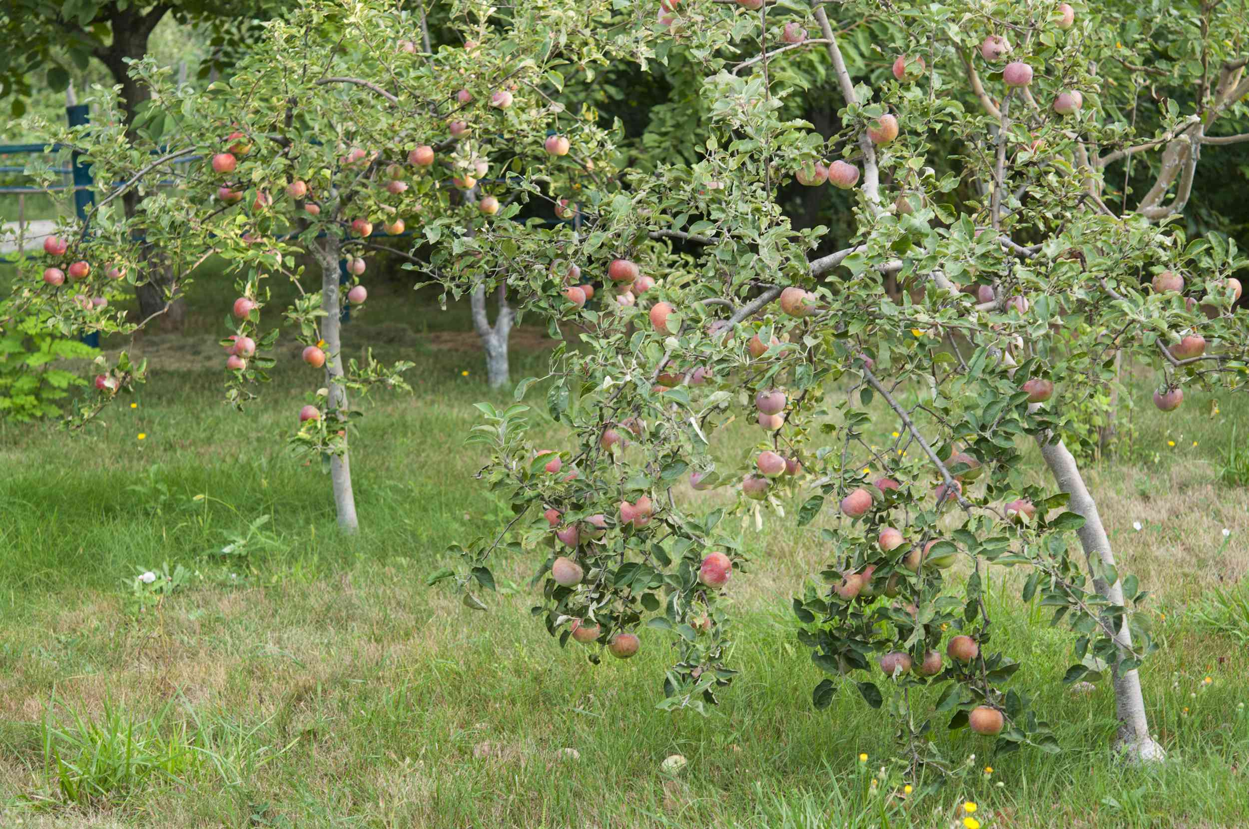 Young dwarf apple trees in a yard, heavy with fruit.