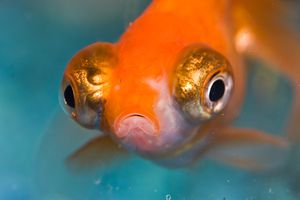 close up of goldfish with big eyes