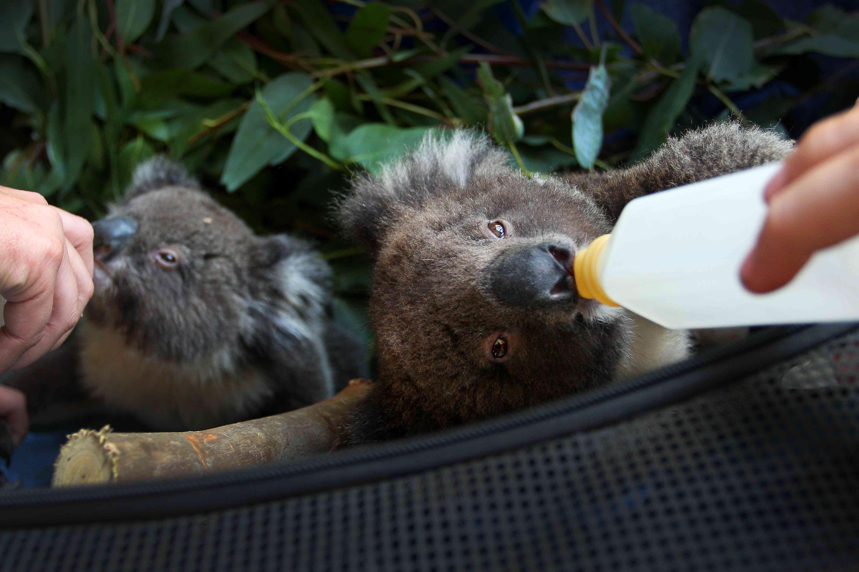 koalas nurse with bottles after Australian bushfires