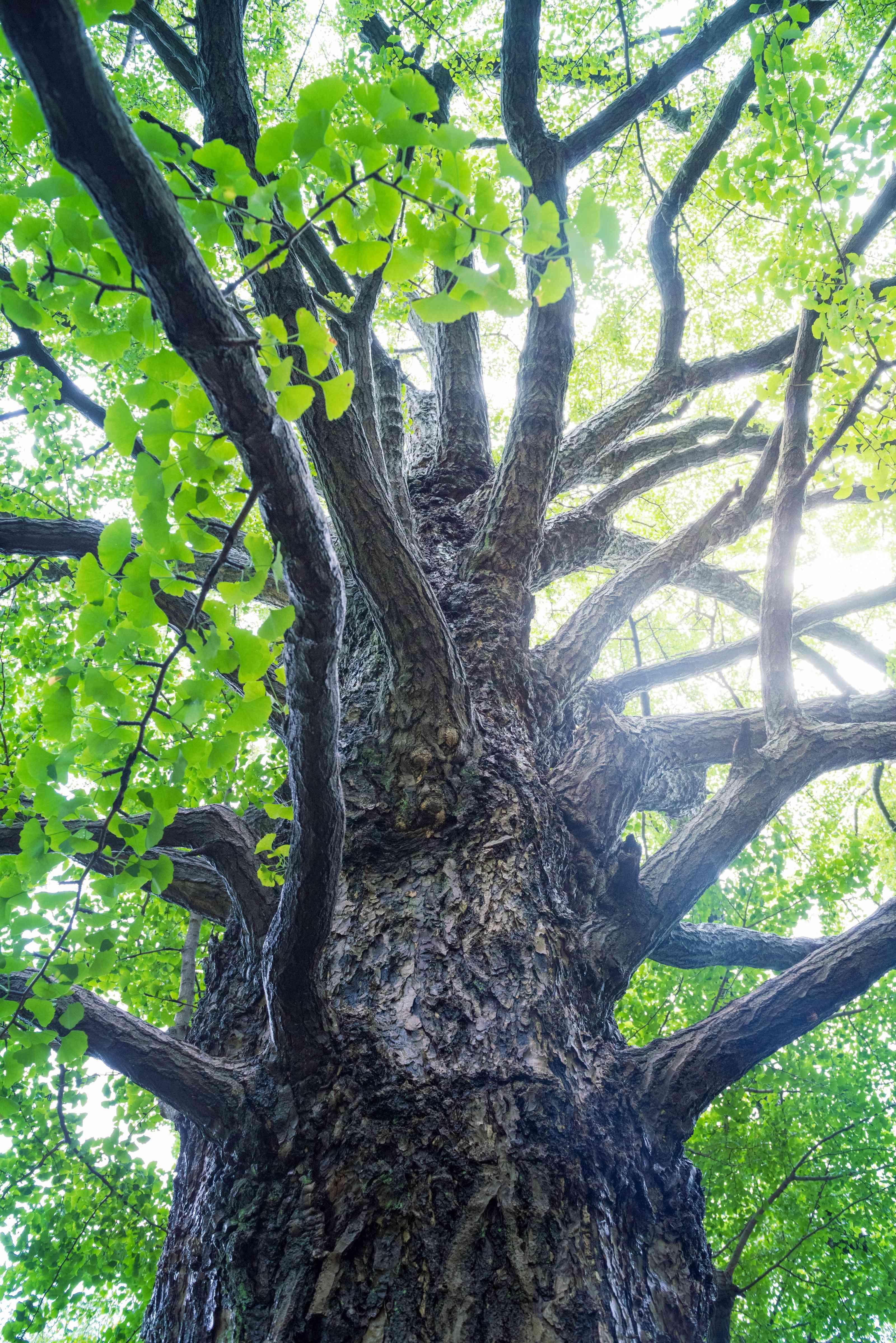 ginkgo biloba tree with green leaves