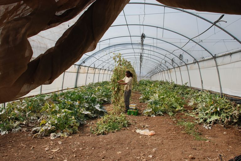 Agricultural worker working in a greenhouse