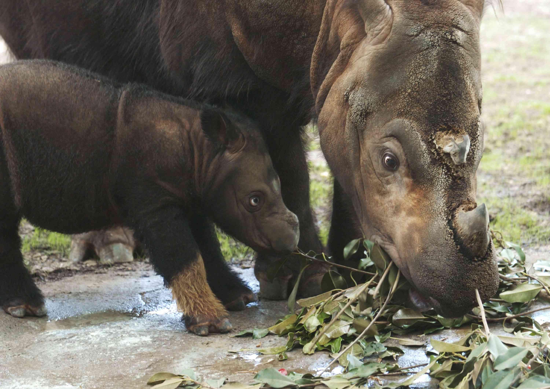 Cincinnatti Zoo - Baby Sumatran Rhino Makes First Public Appearance