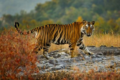 A Bengal tiger walks through Bandhavgarh National Park in Madhya Pradesh, India.