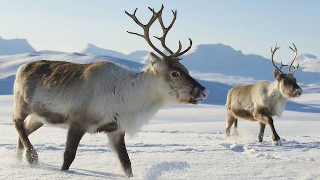 15 Surprising Facts About Reindeer