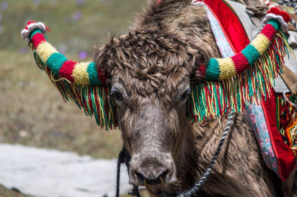 domesticated yak