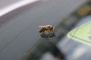 A bee on a car's window shield.