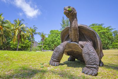 An Aldabra giant tortoise with his neck extended eating a plant.