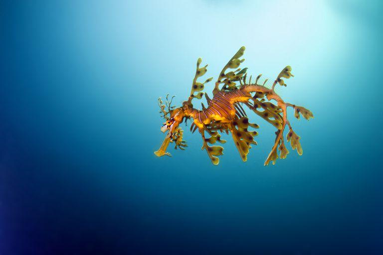 A leafy sea dragon in blue water
