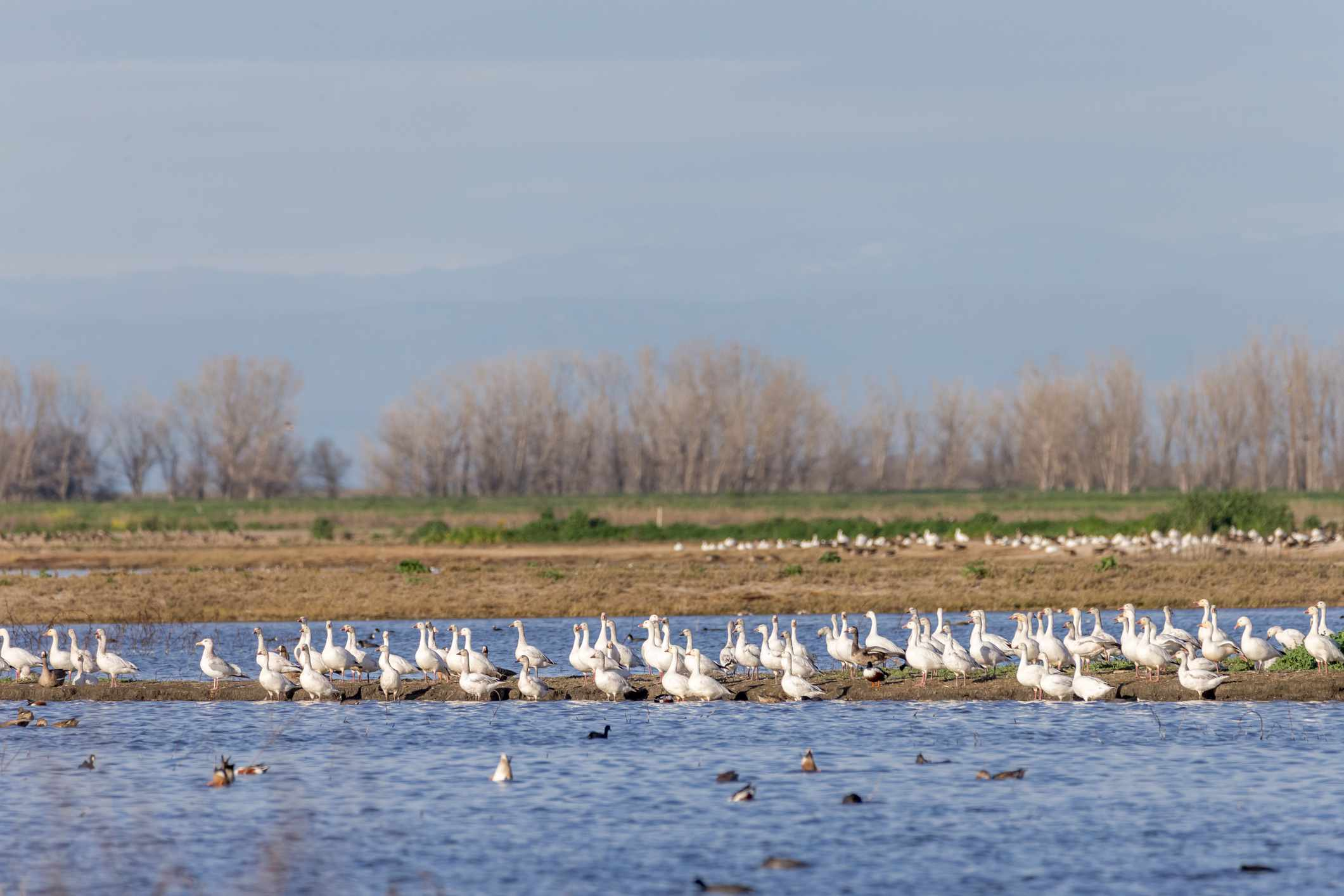 Flock of snow geese at Merced National Wildlife Refuge