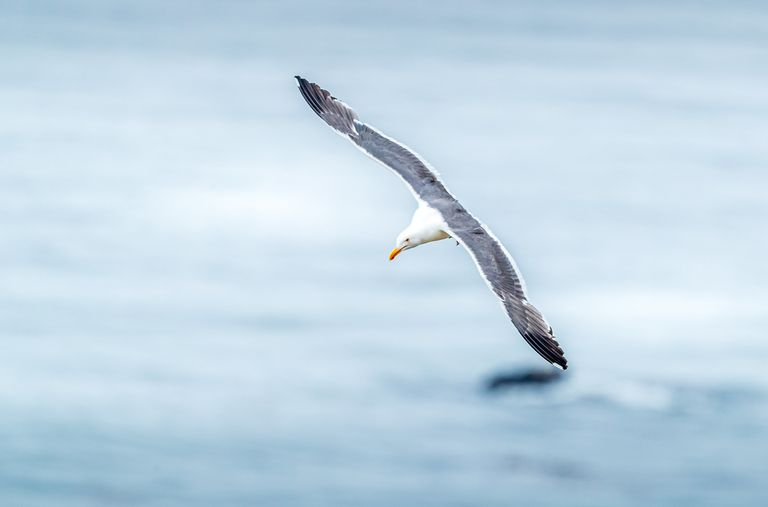 A gull with wings outstretched gliding across the water