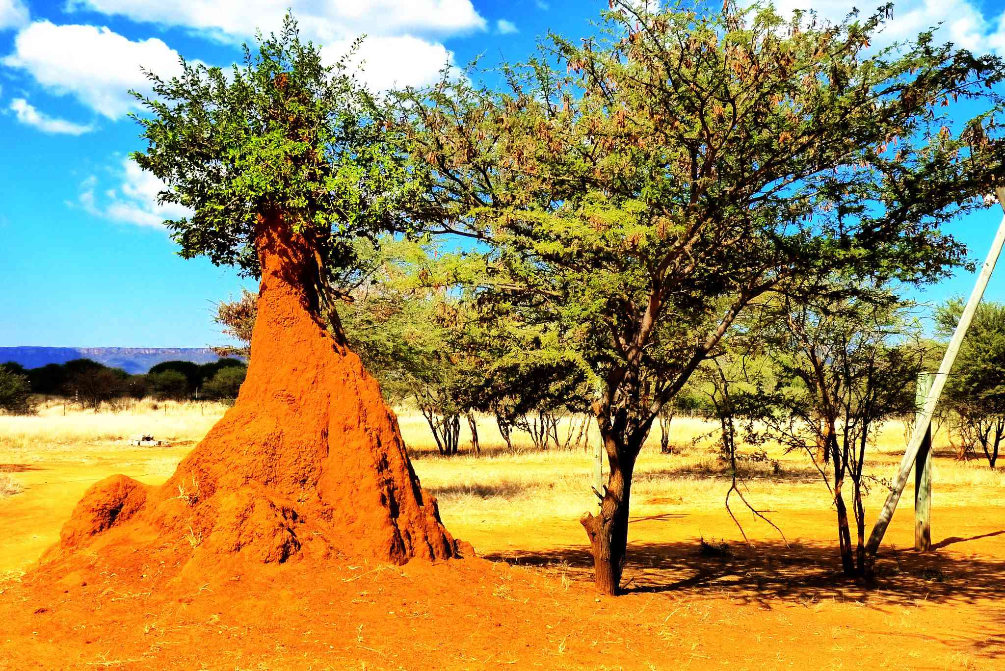 Termite mound as big as a tree on the African savannah