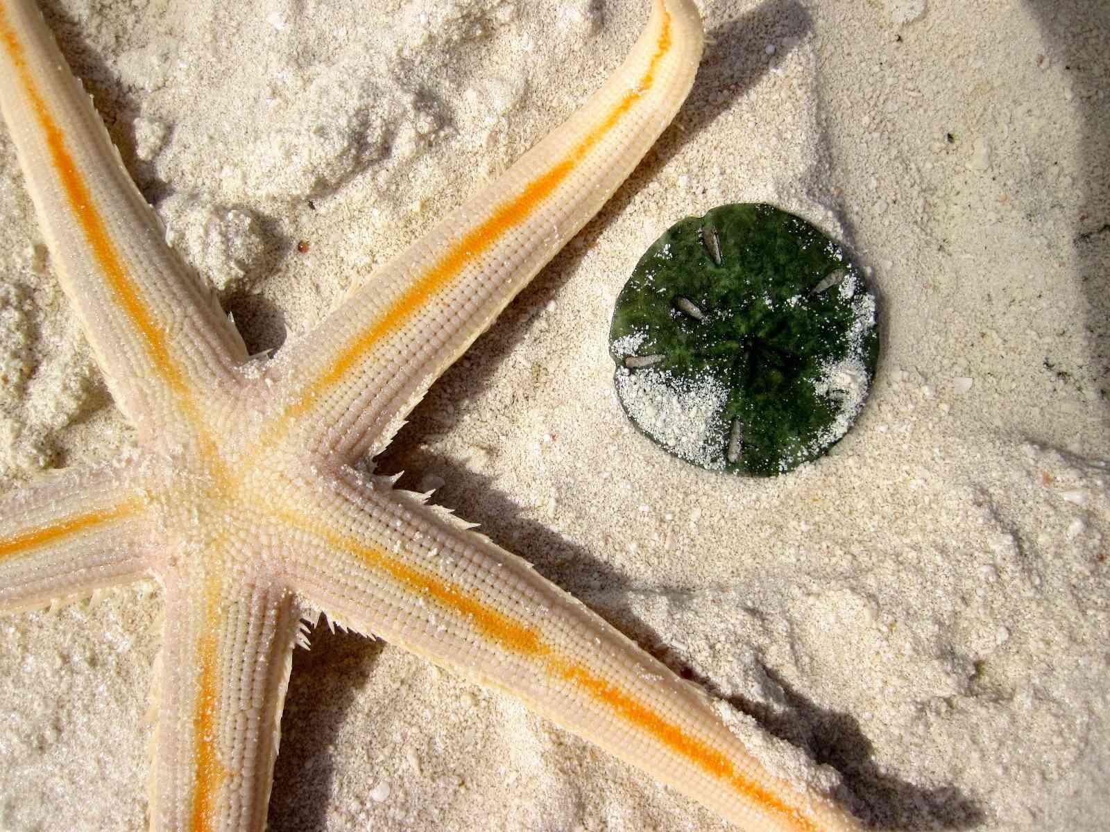 A sand dollar and a sea star, or starfish