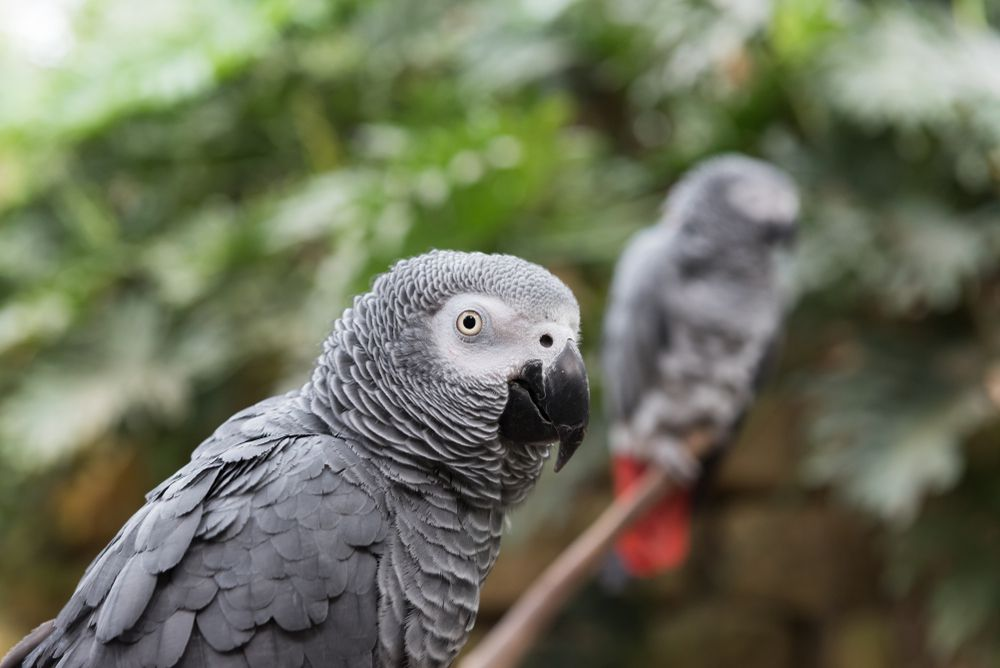 African Grey Parrots Surprise Researchers With Their Altruism