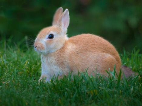 Miles de conejitos serán fusilados en la celebración de Pascua