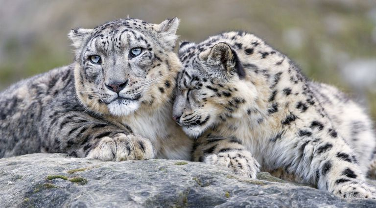 Two snow leopards sit together on a grey rock
