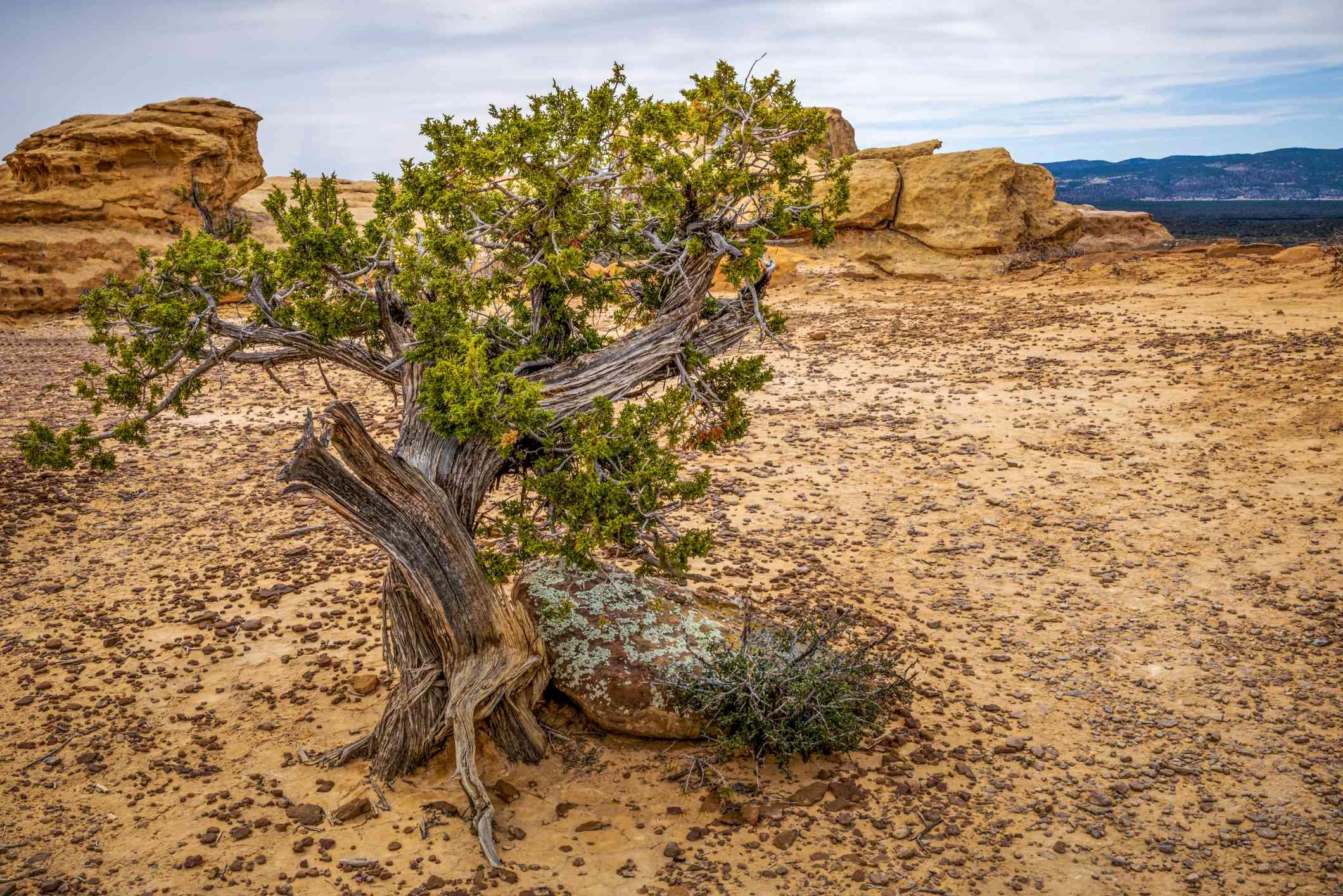 A Juniper tree growing in a desert environment.