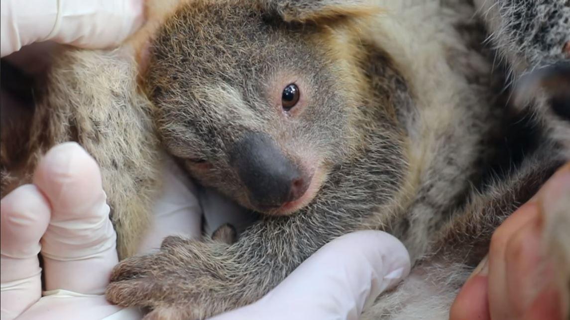 Meet the First Baby Koala Born in Australian Wildlife Park Since Devastating Wildfires