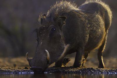 Warthog kneeling at a waterhole