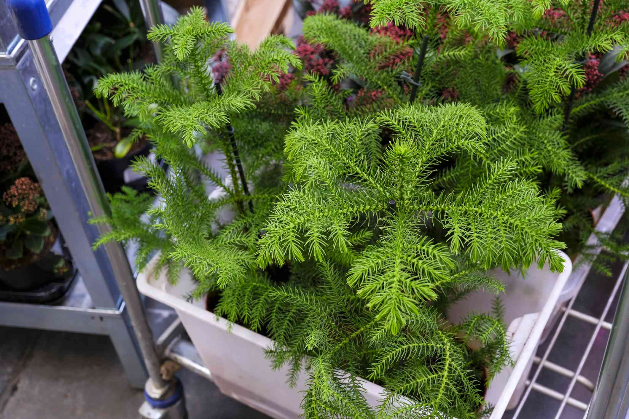Small Forfolk Island Pines in a container at a store.
