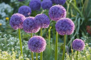 Purple, bulbous allium growing in a field of flowers