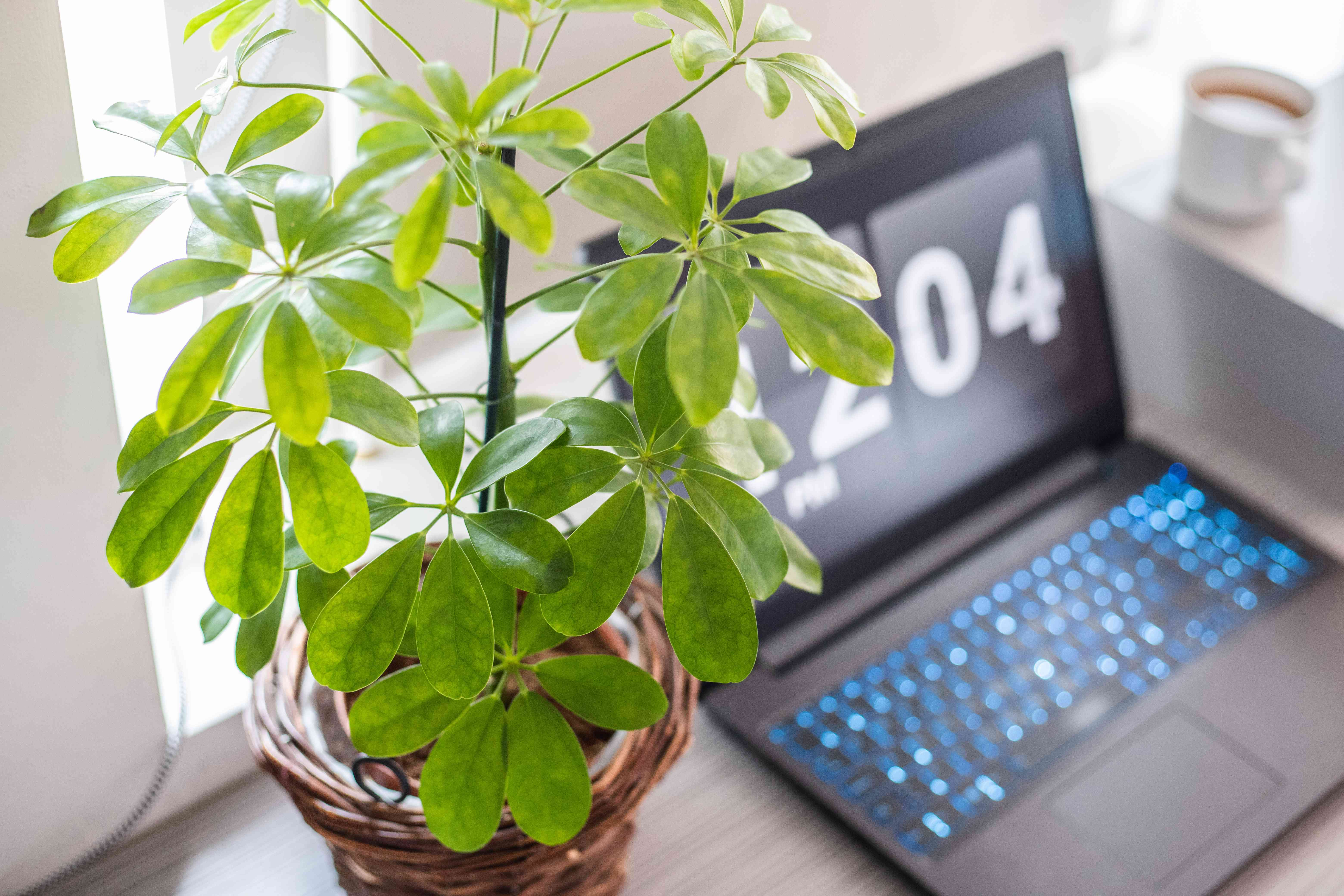 angled shot of green umbrella plant in wicker pot with laptop behind it