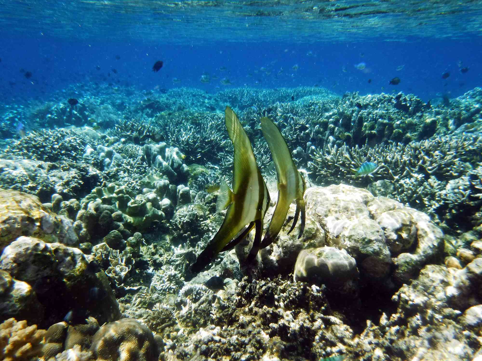 A pair of longfin batfish swimming on a shallow reef