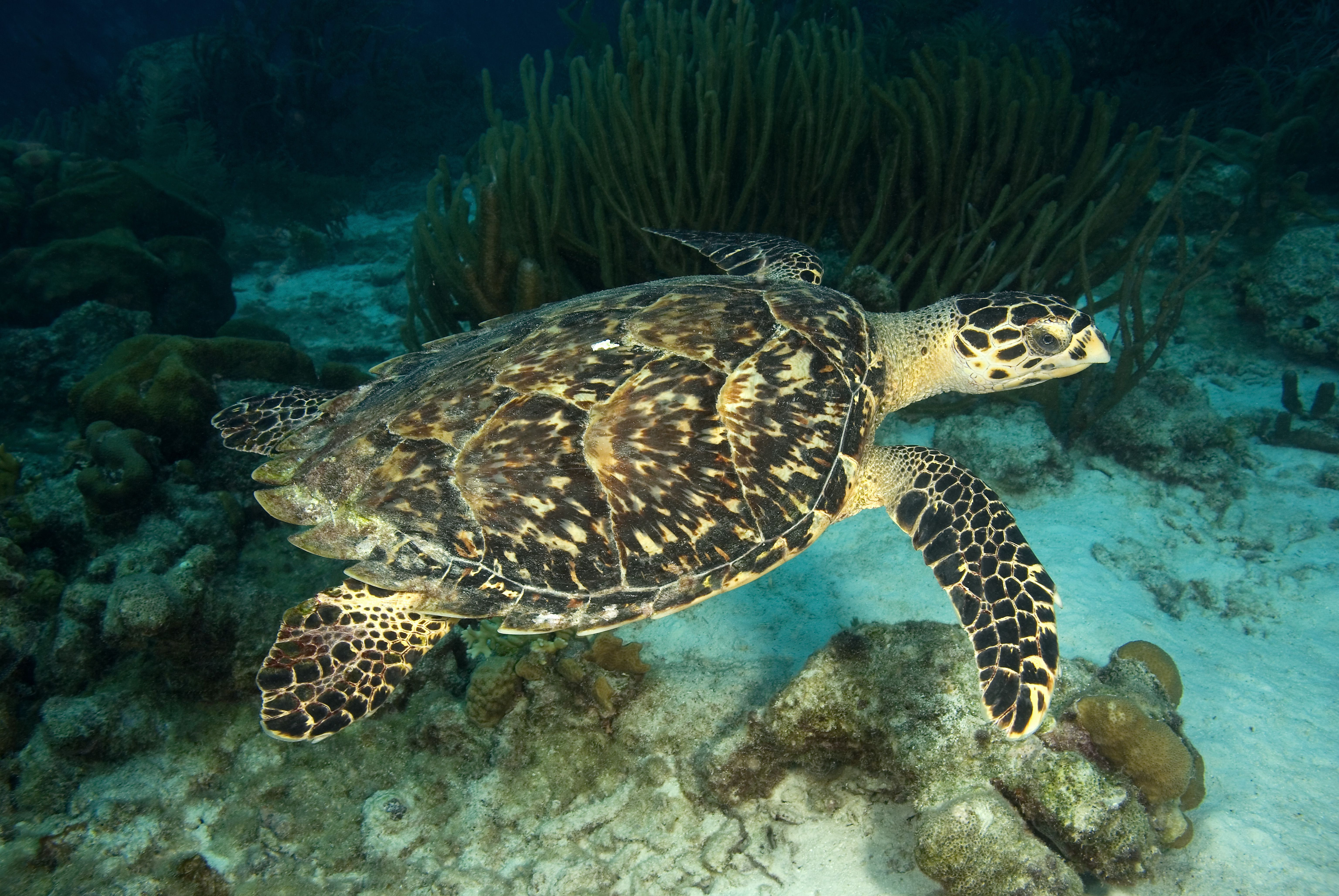 large beautiful sea turtle with a carapase of overlapping sections of variagated brown markings, serated on the back of the turtle, and large flippers for swimming, swimming in a coral reef