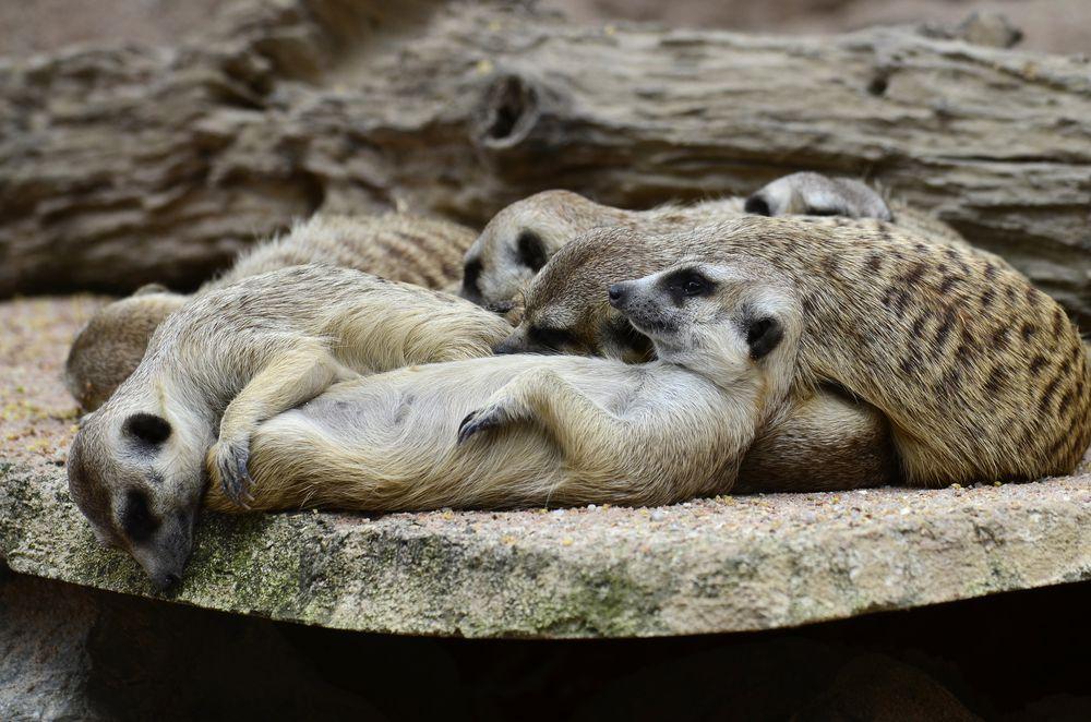 meerkats sleeping in a heap