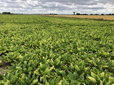 sugar beet fields in Cambridgeshire, England