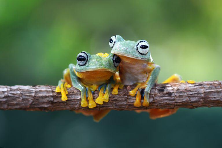 Two Javan tree frogs sitting on branch, Indonesia