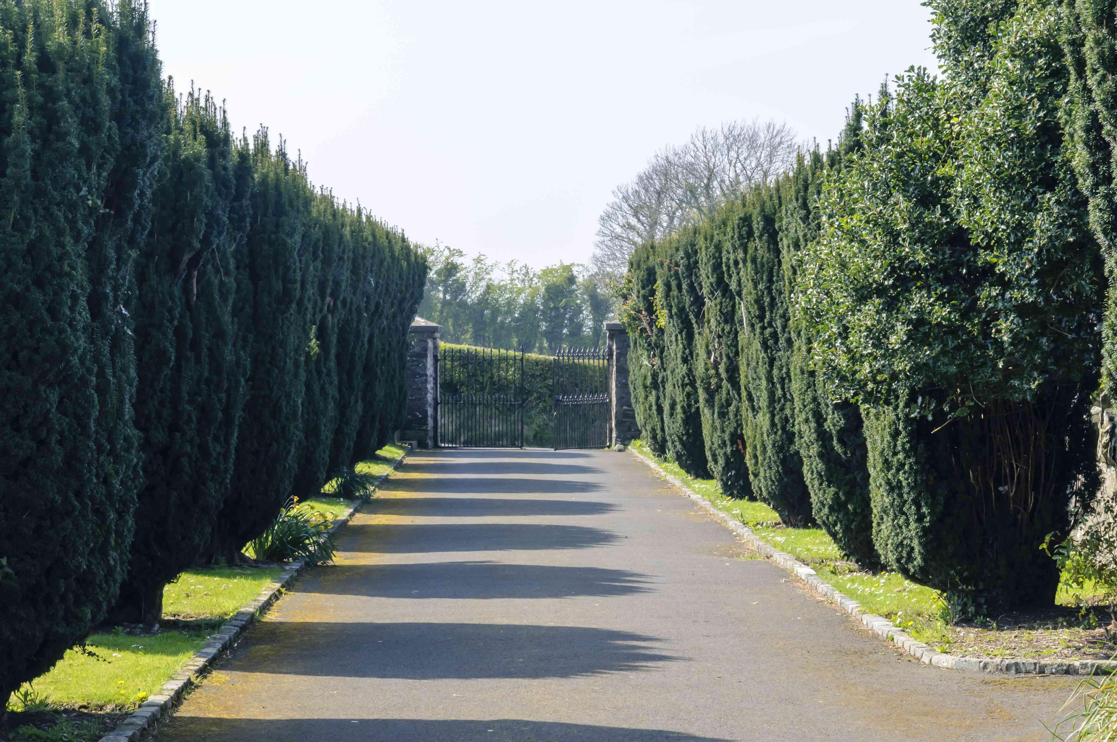 Tall Irish yews lining a driveway