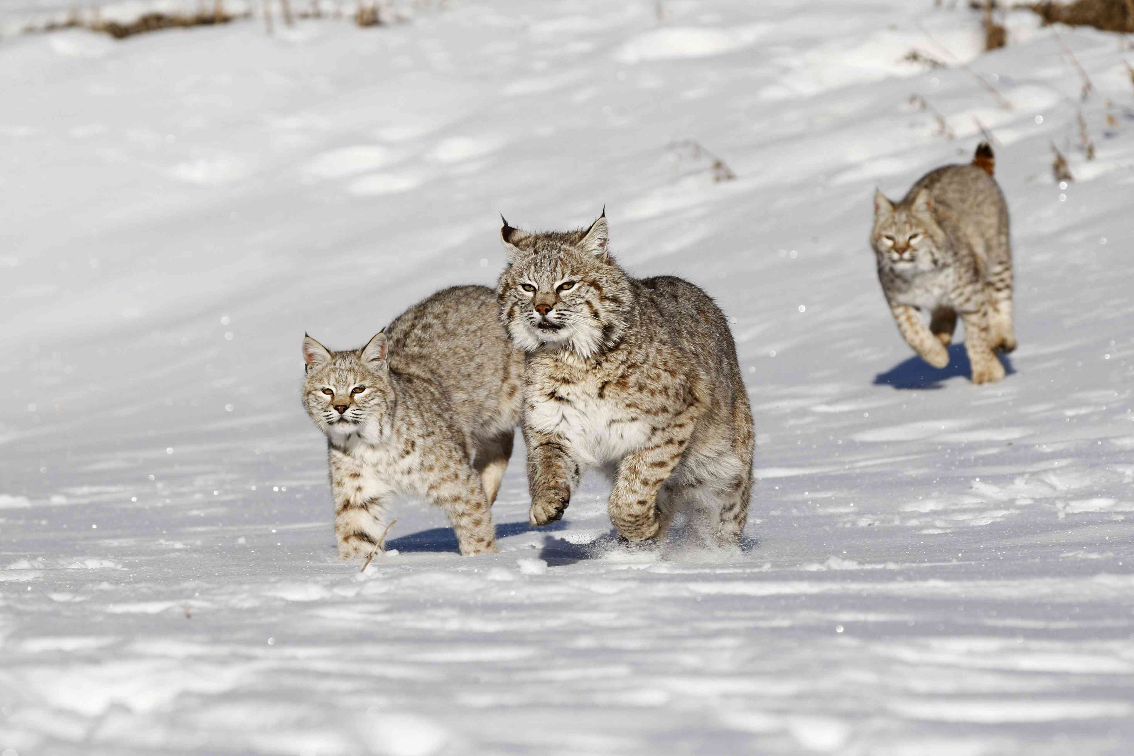 Bobcat (Lynx rufus), adult animal with 2 young subadults in the snow, Montana, USA