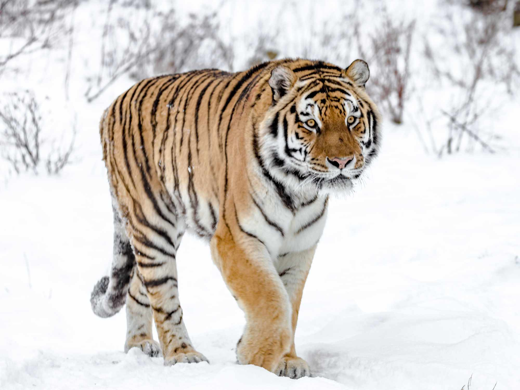 A Siberian tiger walking in the snow