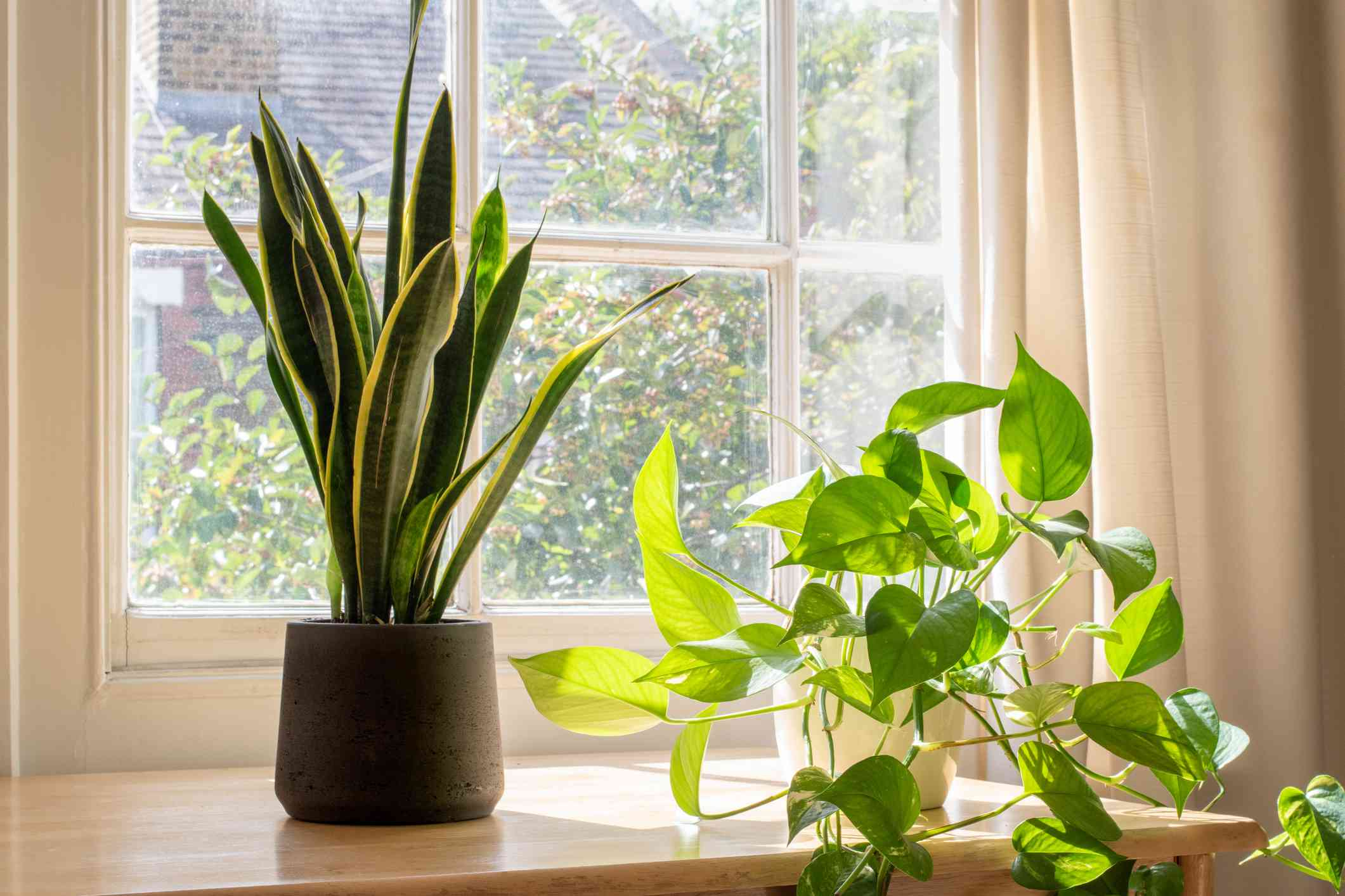 Snake plant with golden pothos in a bright window