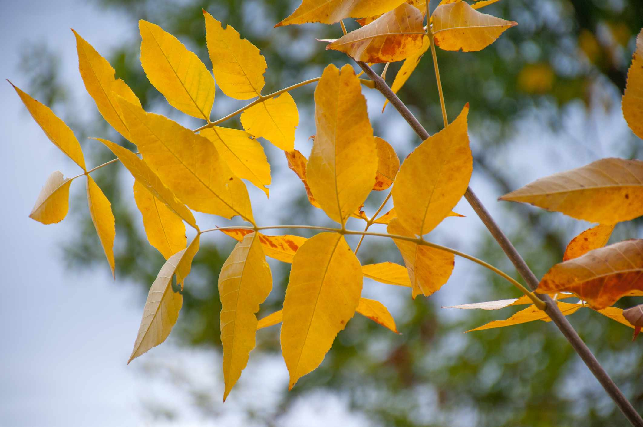 Detailed shot of yellow leaves on an Ash Tree.