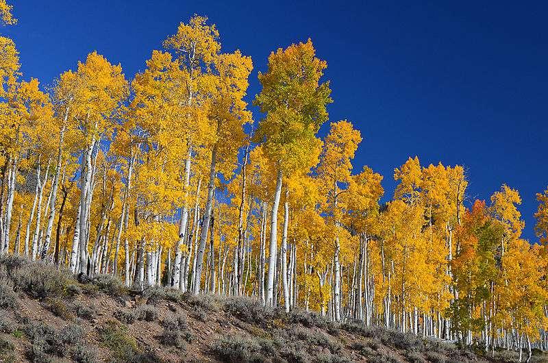 Grove of Aspen trees in Autumn