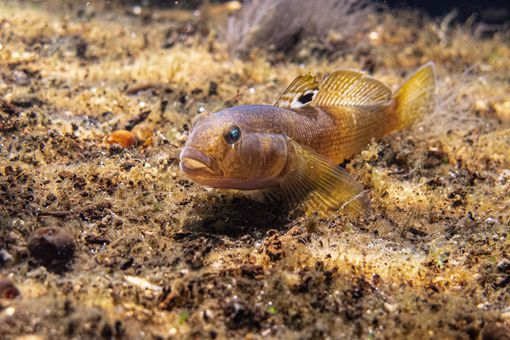 Goby fish swimming at the bottom of the Danube river,