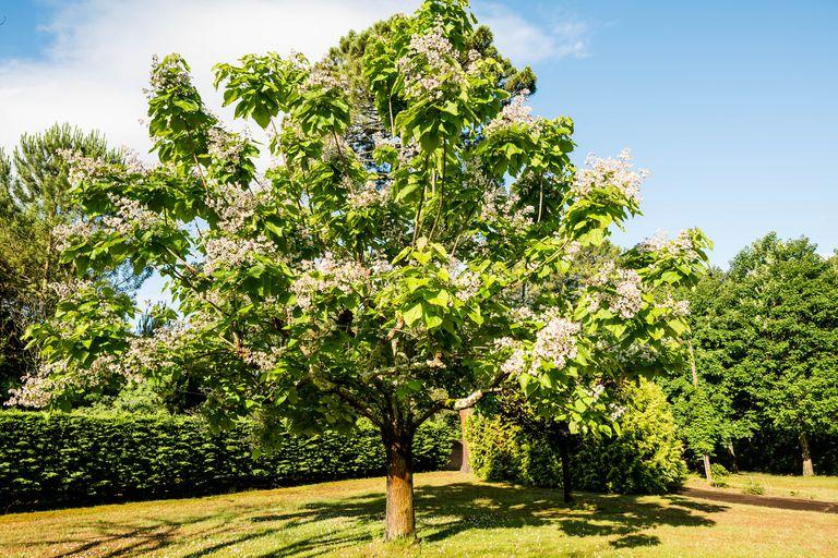 Southern catalpa tree in bloom