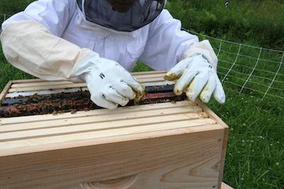 Beekeeper installing the queen cage