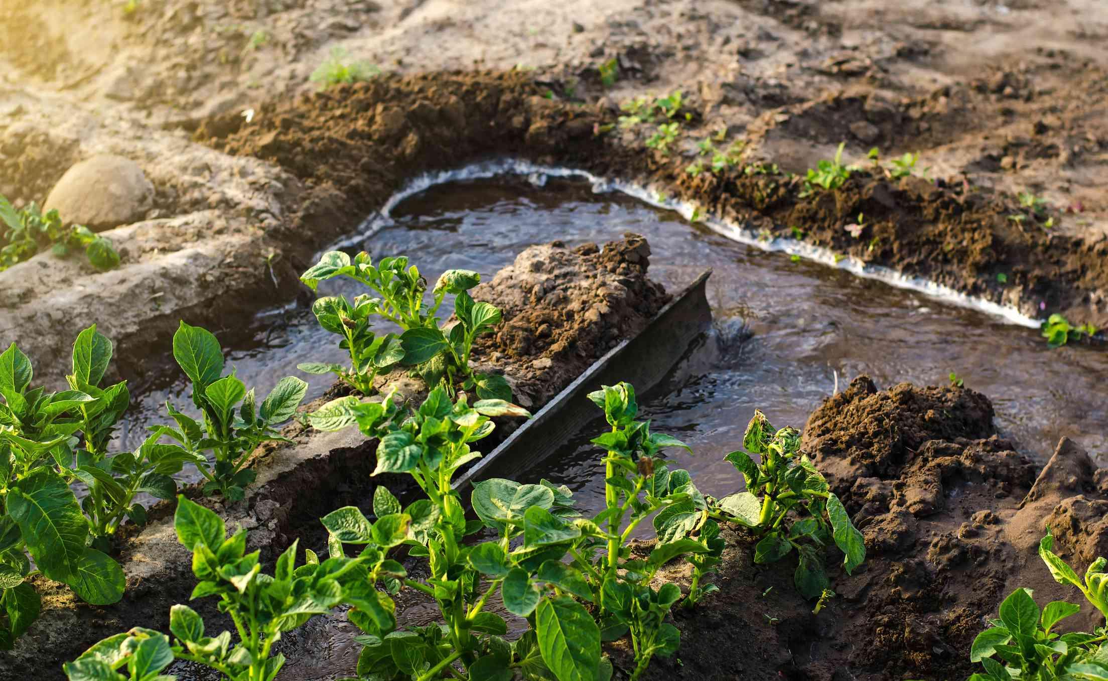 Furrow irrigation of potato plantations