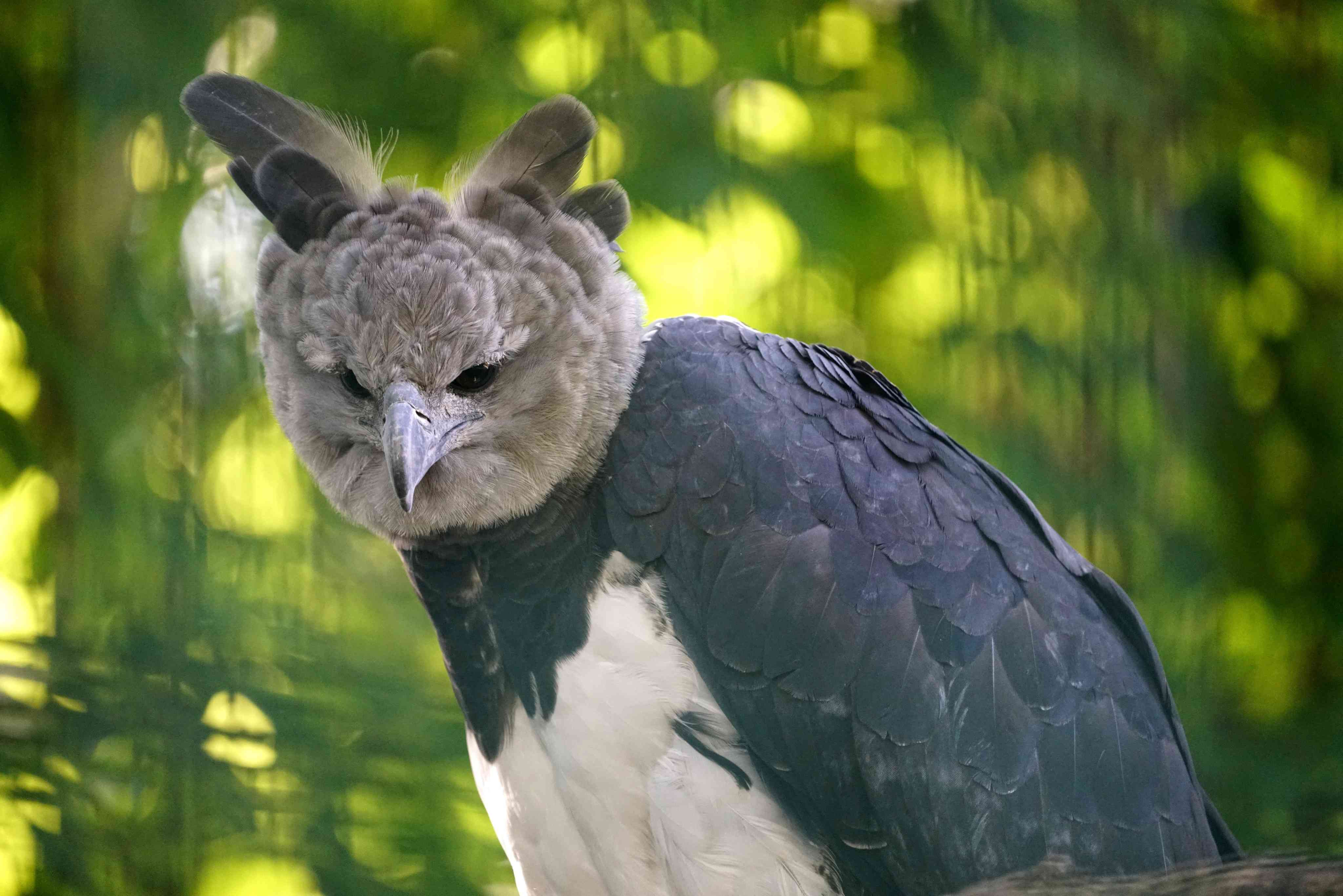 A harpy eagle with gray head and raised crown feathers perches in a forest.