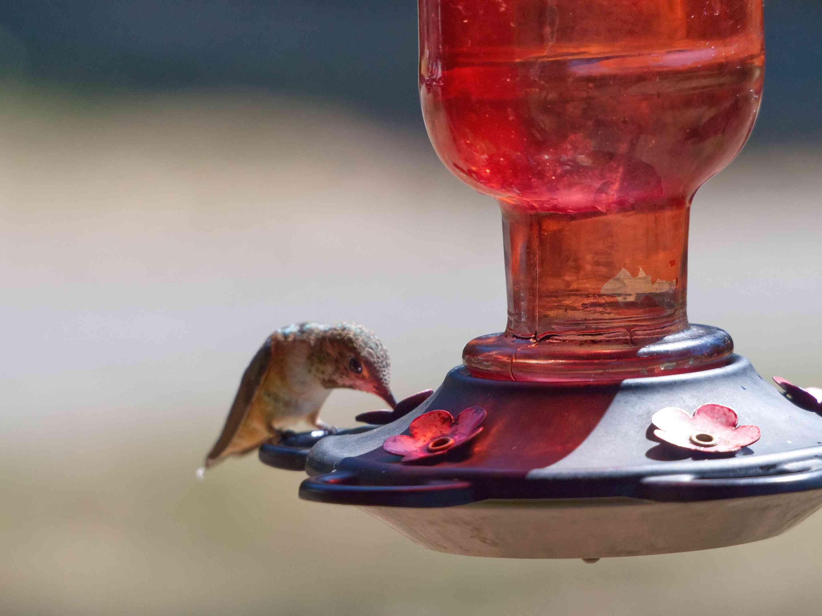 single hummingbird sits and eats on edge of plastic red hummingbird feeder
