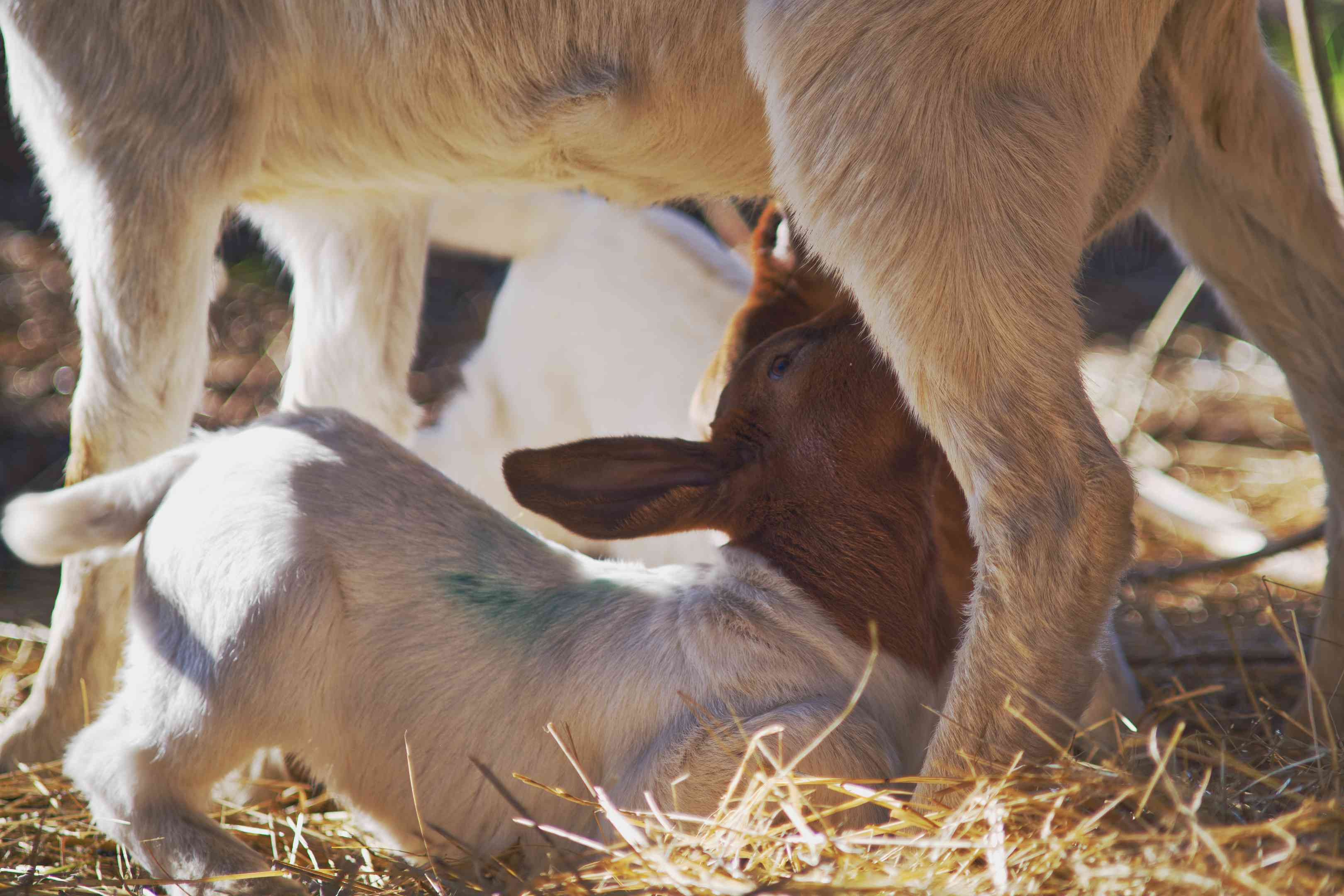 up close shot of momma goat feeding baby goat perched under legs in hay