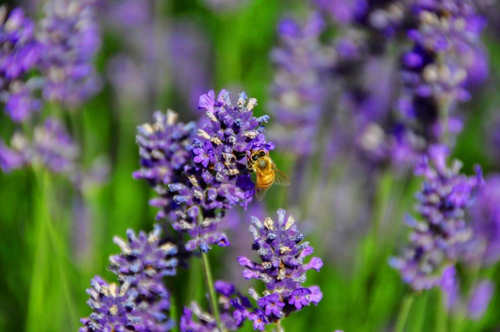 Lavender Capital of North America: Bee on flowers