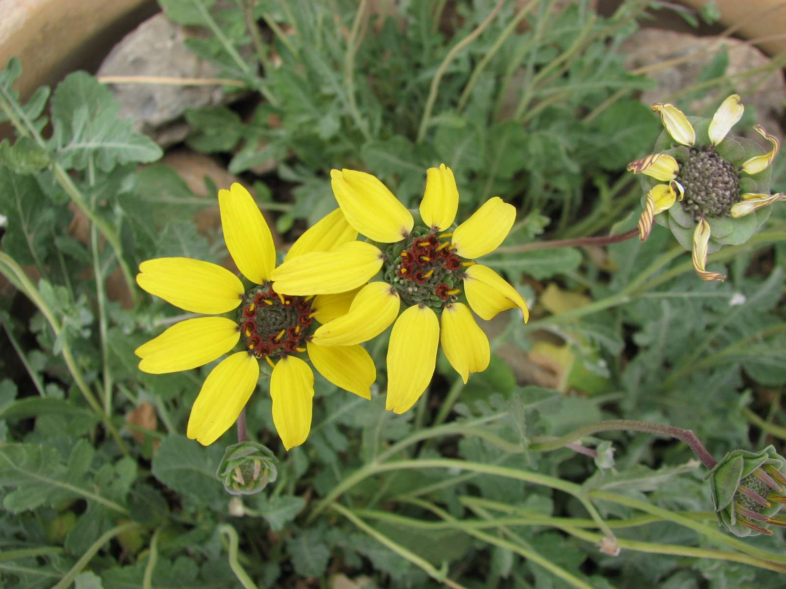 Chocolate daisy flowers with yellow petals and red and green center