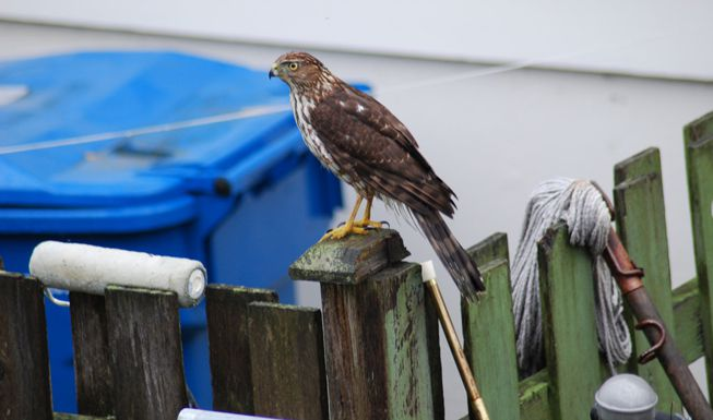 A sharp-shinned hawk perches on a fence post