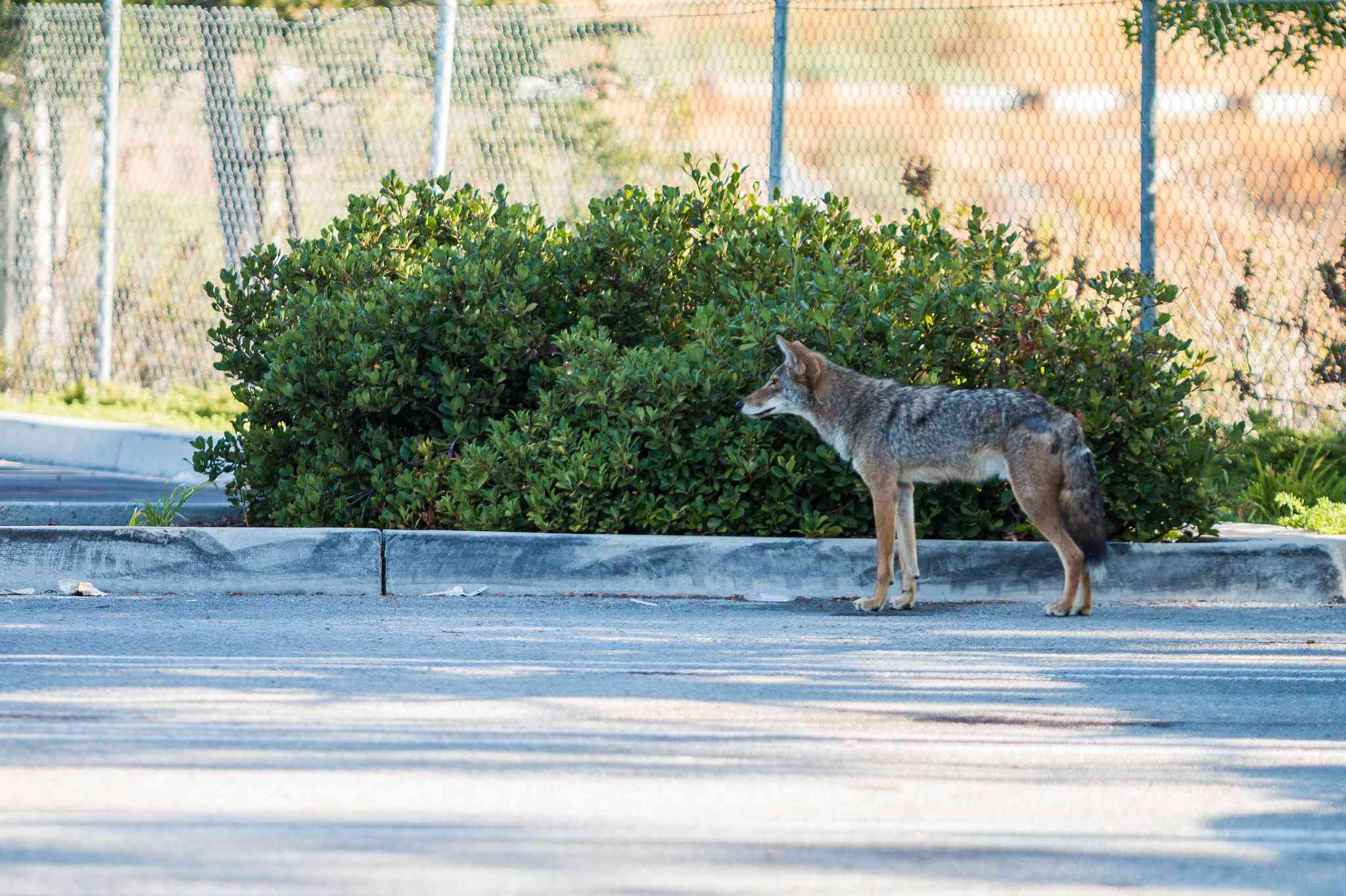 coyote standing in a parking lot