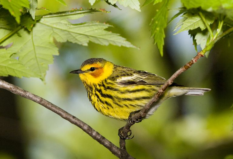 Cape May warblers have unique tongues — they're curled and semitubular — which they use to collect nectar during winters in the West Indies.