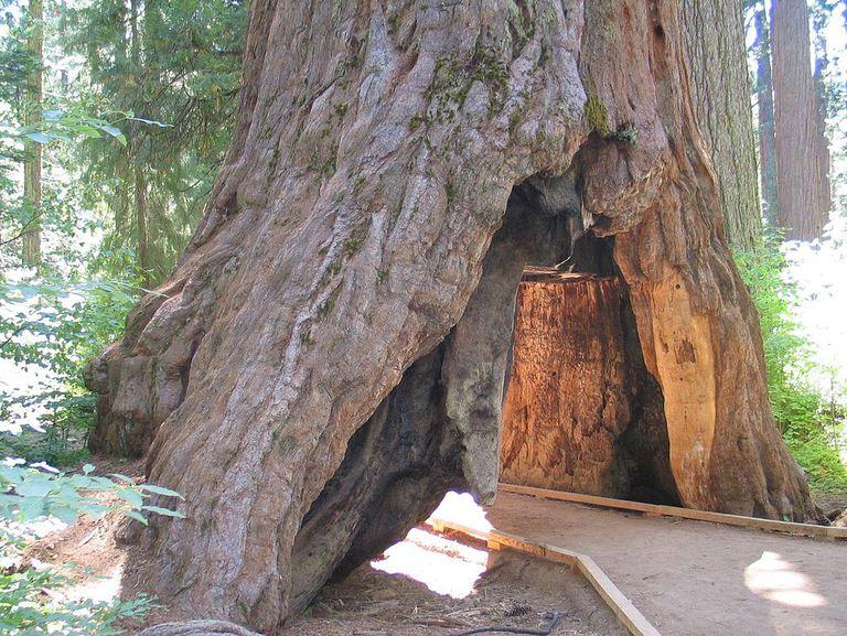 Pioneer Cabin Tree in California
